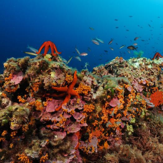 Diversité sur un fond rocheux de Méditerranée © O. Bianchimani - Septentrion Environnement