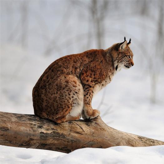 Lynx lynx (Linnaeus, 1758) © R. Clerc