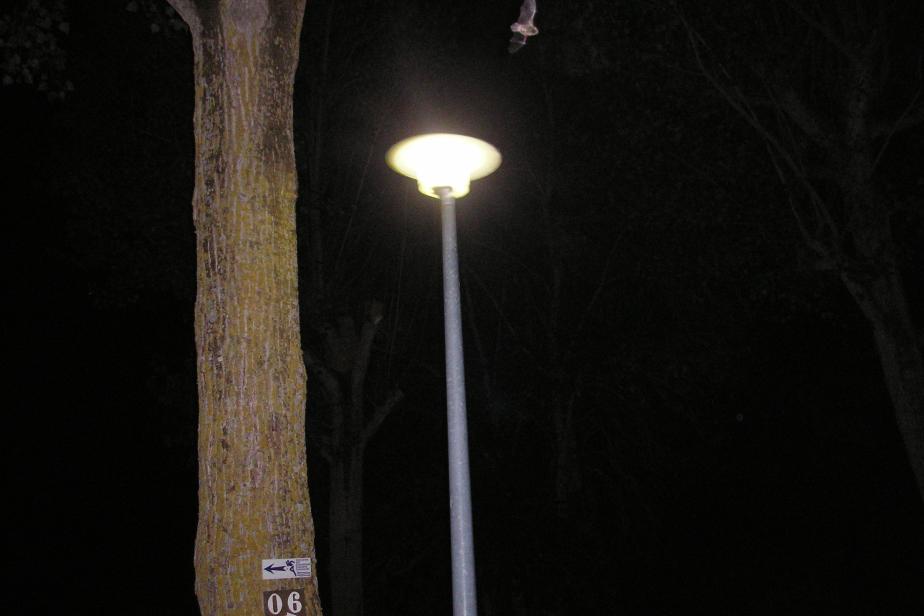La lumière artificielle attire certains animaux, comme les insectes, habitués à se repérer avec le ciel étoilé. Elle constitue alors des pièges écologiques pour ces espèces et déséquilibre l'ensemble des écosystèmes en facilitant l'accès à la nourriture pour certains prédateurs, comme certaines chauves-souris. © Romain Sordello