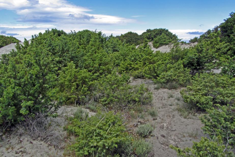 Fourré dunaire à Juniperus oxycedrus subsp. macrocarpa (Haute-Corse) © V. Gaudillat