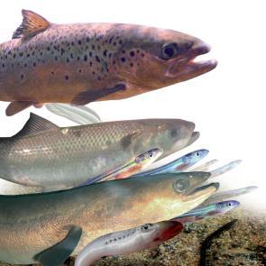 conférence poissons migrateurs amphihalins