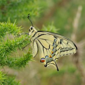 Papilio machaon © P. Gourdain