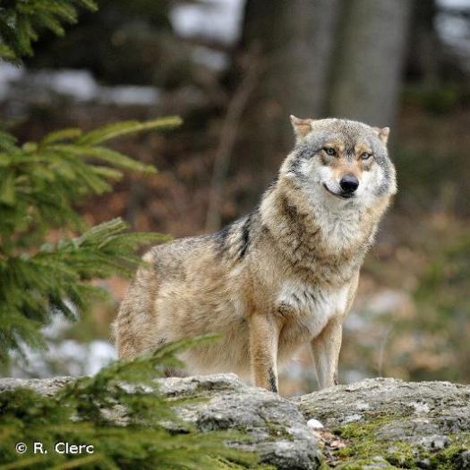 Loup gris © R. Clerc