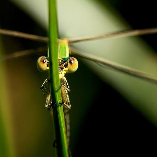 Lestes barbarus © J. Laignel