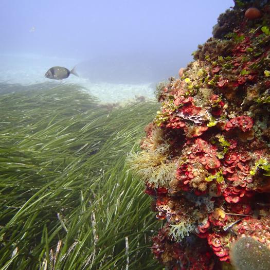 Fonds marins de Giraglia, Corse © Thibaud debettignies