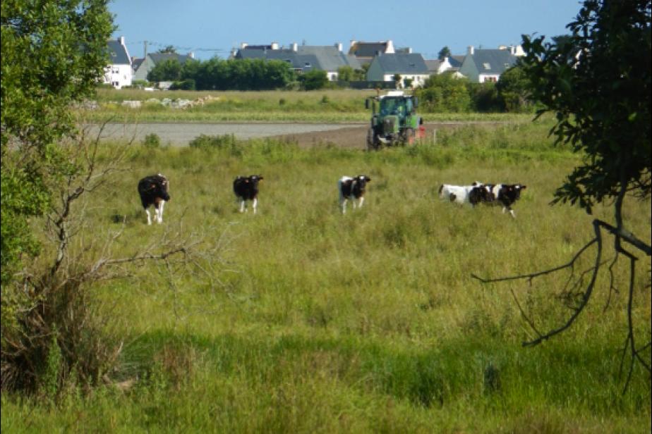 Paturage par un troupeau de bovins de la race pie noire dans une zone humide littorale du Finistère © G. Gayet
