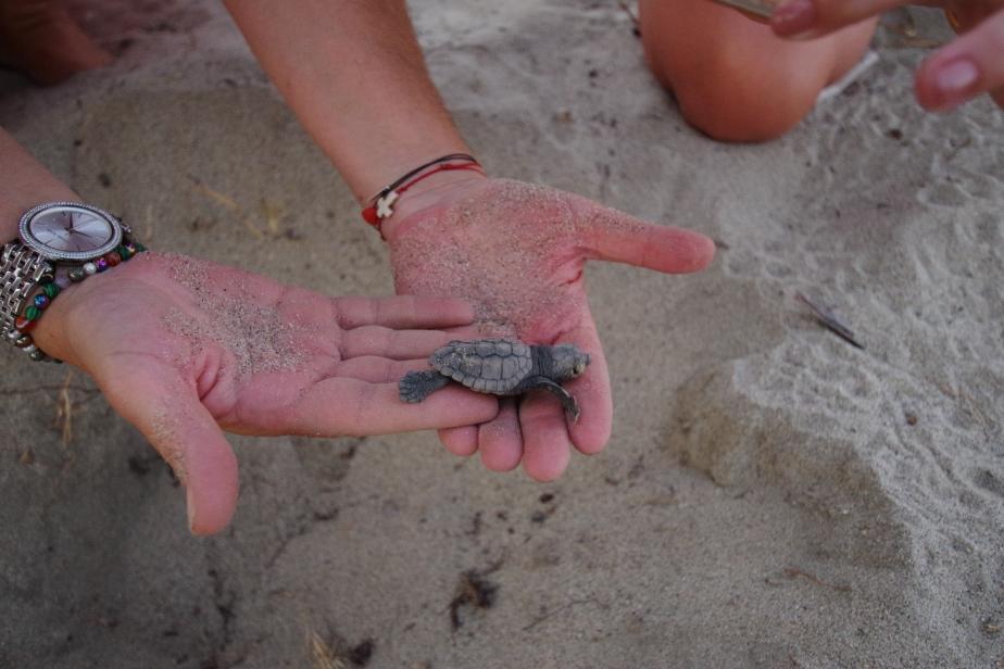 Petite tortue caouanne Caretta Caretta en Corse