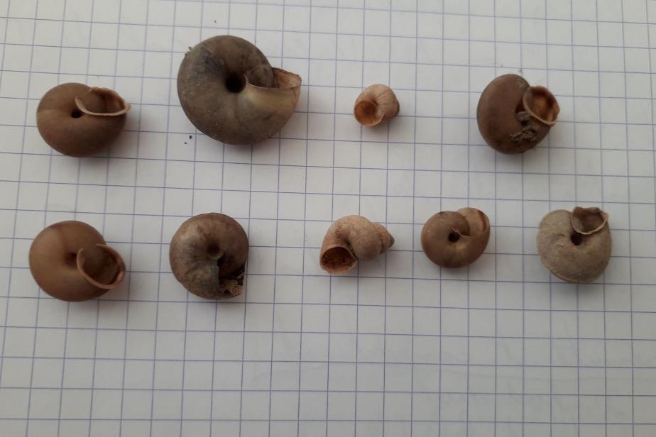 Escargot peson - P. Gourdain