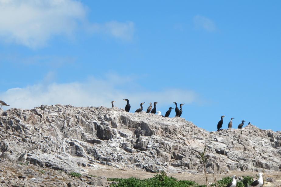 coloniegrands_cormorans_ile_de_terre_p.le_granche