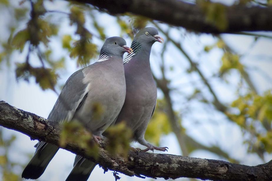 Pigeon ramier Columba palumbus © Pierre-Yves Le Bail