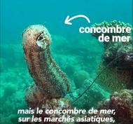 Concombre_CITES.jpg